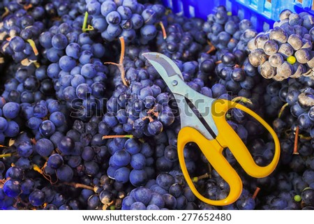 Fresh harvest of grapes. Vineyard theme with blue grapes and sci - stock photo
