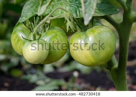 Fresh Harvest Of Green Tomatoes Growing In The Garden