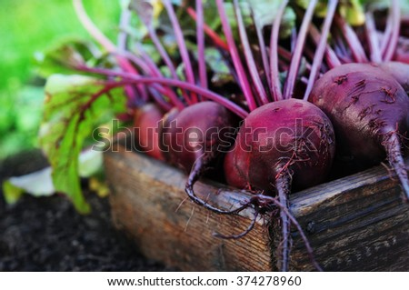 Fresh harvested beetroots in wooden crate - stock photo