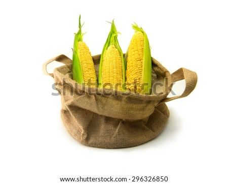 Fresh harvested corn in a burlap basket, with husks intact, isolated on white. Focus is on middle corn. - stock photo