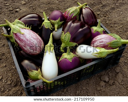 fresh harvested eggplants in plastic container - stock photo