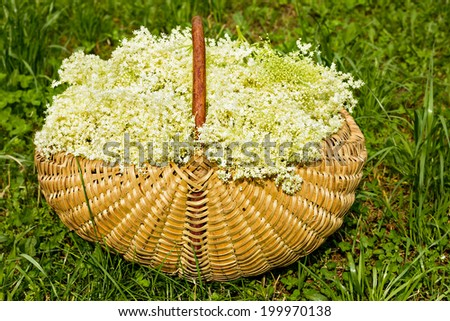 Fresh harvested elderflowers in wicker basket outside in the garden - stock photo