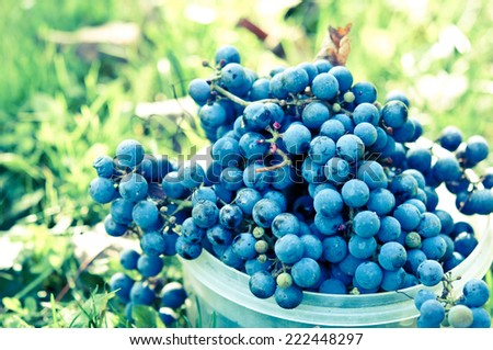 fresh harvested grapes with retro filter