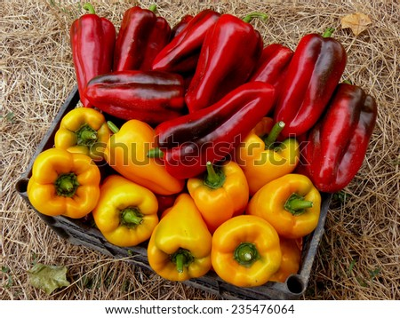 fresh harvested red and yellow peppers in plastic container  - stock photo