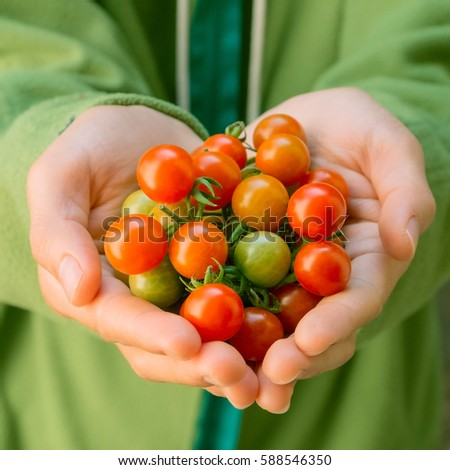 Fresh harvested tomatoes hands