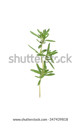 Fresh herb thyme isolated on white background - stock photo