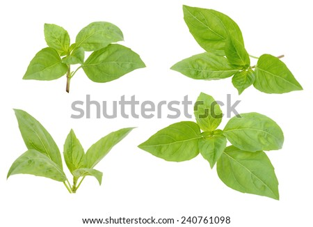 fresh herbal basil leaves isolated on white