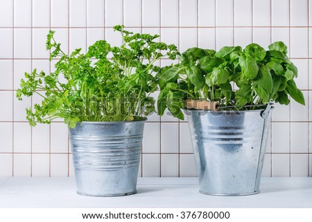 Fresh herbs Basil and Parsley with wet leaves in metal pots over kitchen table with white tiled wall at background. - stock photo