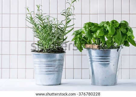 Fresh herbs Basil and Rosemary in metal pots over kitchen table with white tiled wall at background. - stock photo