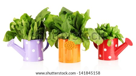 Fresh herbs in colorful watering cans isolated on white - stock photo