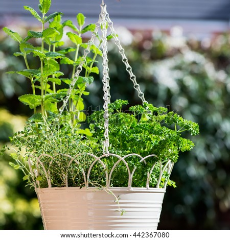 Fresh Herbs in Hanging Outdoor Basket. Contains the following Parsley, Marjoram, Sage, Thyme, and Mint - stock photo