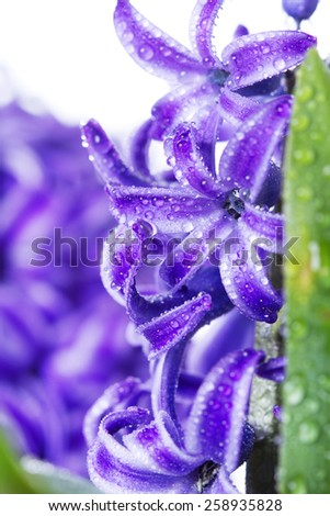 Fresh hyacinth detail  - stock photo