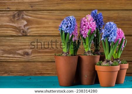 fresh hyacinth flowers on wooden background - stock photo