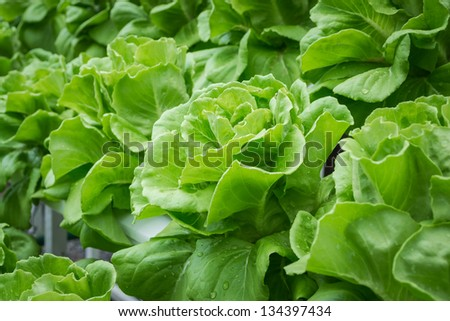 fresh hydroponic vegetables with water drop under sunlight - stock photo