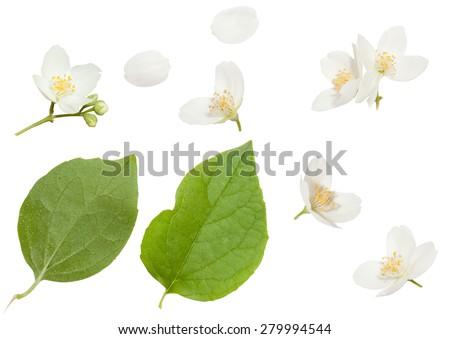Fresh Jasmine flowers isolated on white - stock photo