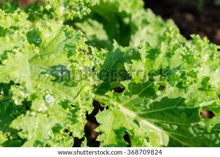 fresh kale - stock photo