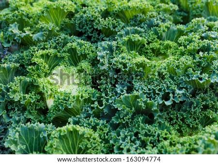 Fresh kale close up - stock photo