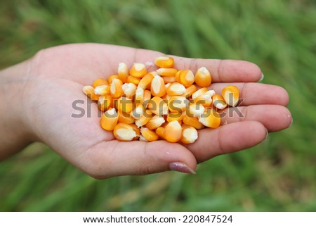 fresh kernel corn in hand on field background - stock photo