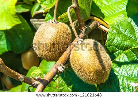 kiwifruit vine stock images, royaltyfree images  vectors, Natural flower