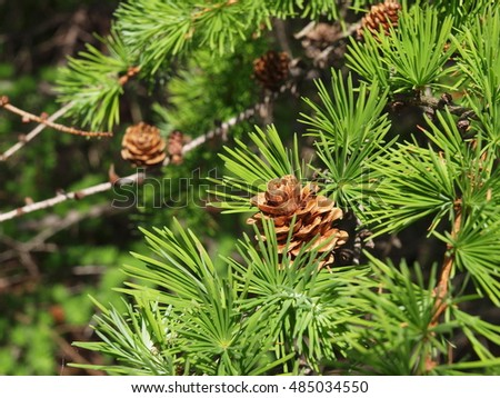 fresh larch needles with cones