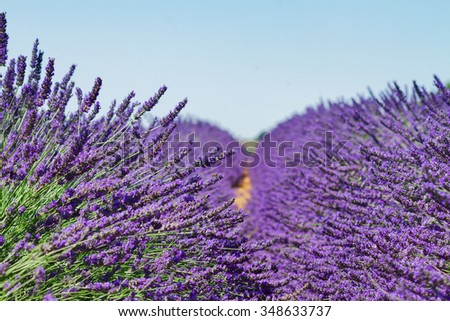 fresh Lavender field with summer blue sky close up, France