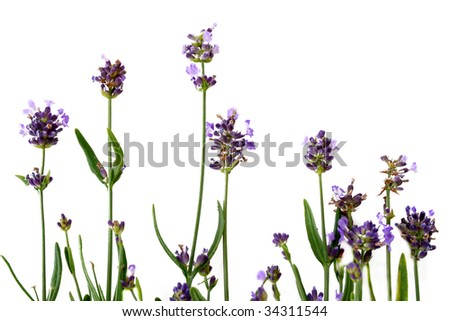 Fresh lavender shot against a white background.