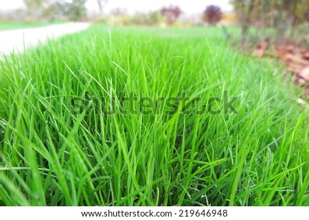 Fresh lawn grass in the garden - stock photo