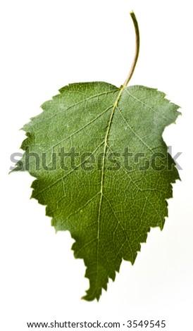 fresh leaf from a birch - stock photo