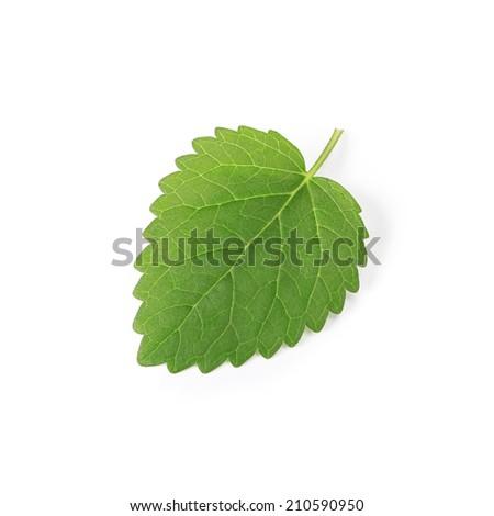 Fresh leaf of melissa ( Lemon balm ) - stock photo