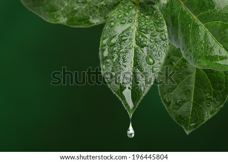 Fresh leaf with water drop falling. Natural background - stock photo