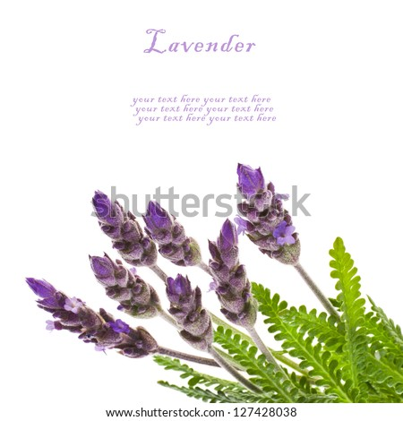 Fresh  leaves and flowers of lavender,  isolated on white background - stock photo