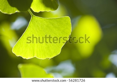 Fresh Leaves Ginkgo