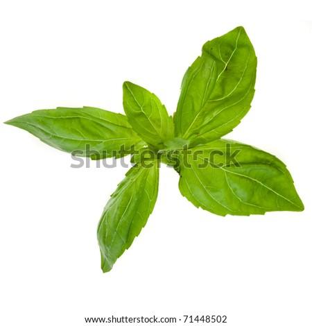 Fresh leaves of basil isolated on white - stock photo