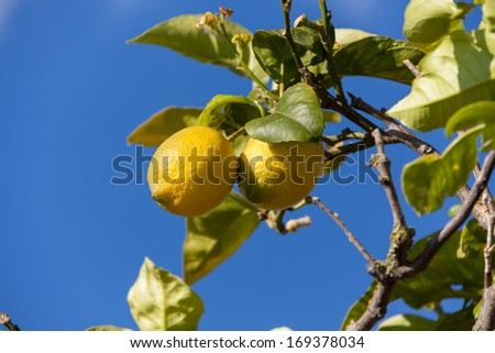 fresh lemons on lemon tree blue sky nature summer fruit background