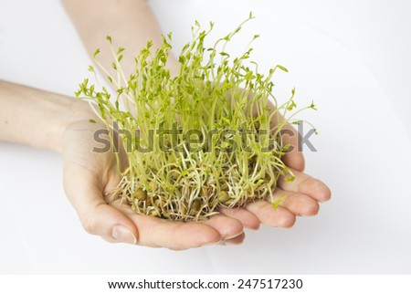 Fresh lentils sprouts held on woman hands - isolated on white background  - stock photo