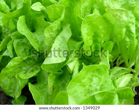 fresh lettuce in garden - stock photo