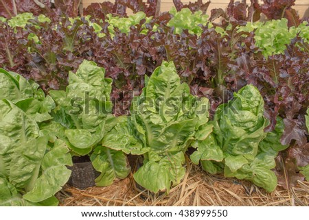 Fresh lettuce in growth at vegetable garden