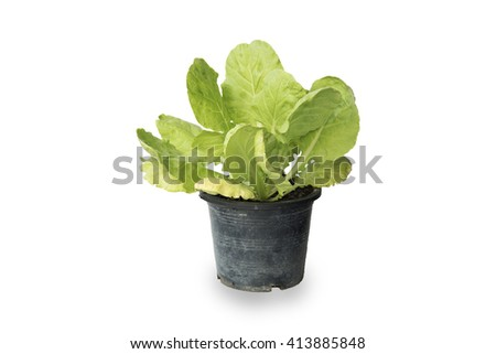 Fresh lettuce in plant pot isolated on white background.