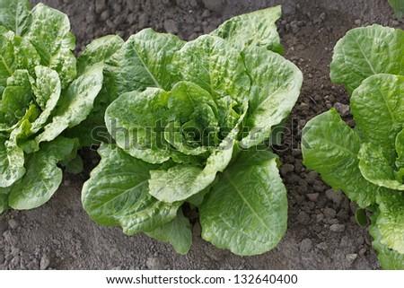 Fresh lettuce in the field - stock photo