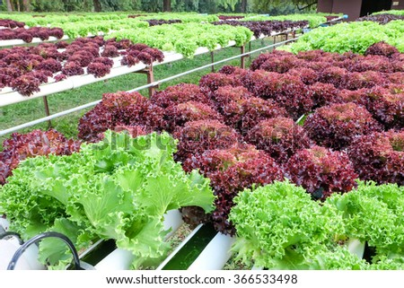 fresh lettuce plant on the field - stock photo