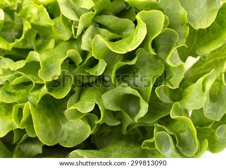 Fresh lettuce salad background - stock photo