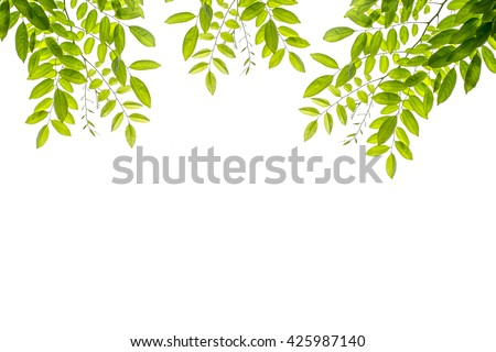 fresh light green leave spring summer season isolated on white, abstract background for spring summer concept.   - stock photo