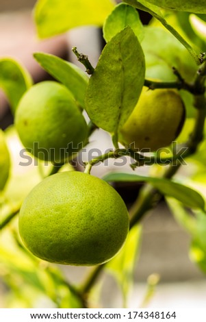 Fresh lime hanging on a lime tree. - stock photo