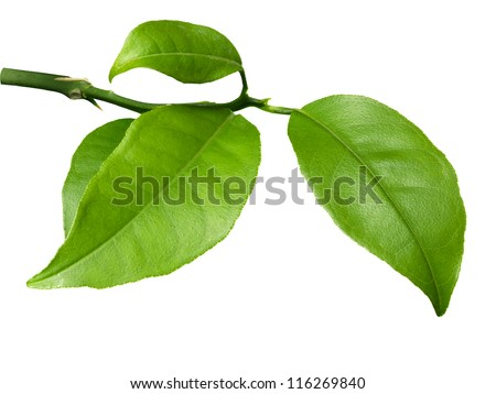 Fresh lime leaves on branch isolated over white background - stock photo