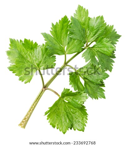 Fresh lovage twig isolated on white background. Culinary aromatic herbs. File contains a clipping path. - stock photo