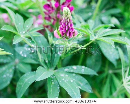 Fresh lupine blossom close up blooming in spring. High lush lupine flowers, summer meadow. - stock photo