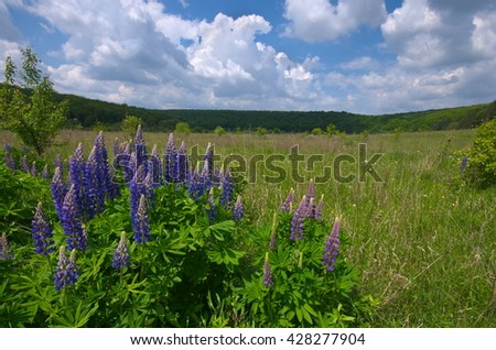 Fresh lupine close up blooming in spring. High lush purple lupine flowers, summer meadow. Blossoming lupine in foreground with sky and white clouds above. Lupin or lupine with purple and blue flowers - stock photo