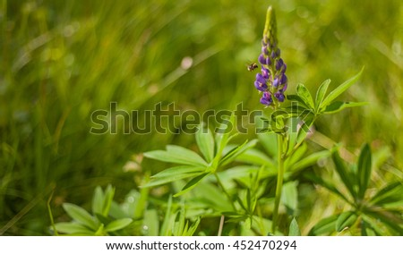 Fresh lupine close up blooming in spring. High lush purple lupine flowers, summer meadow - stock photo