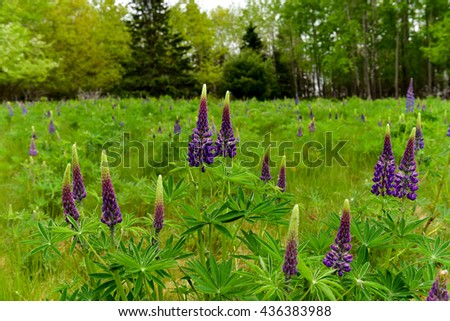 Fresh lupine close up blooming in spring. High lush purple lupine flowers, summer meadow in Maine. - stock photo