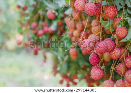 fresh lychee on tree in lychee orchard
